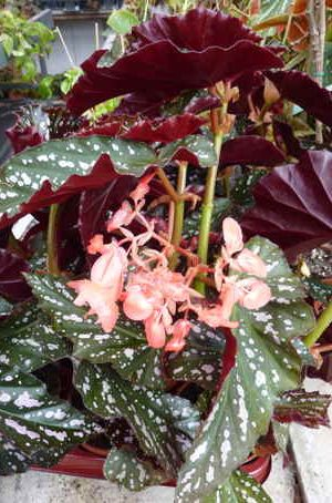 Begonia 'Dotsy'