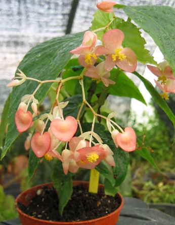 begonia 'Honeysuckle, bambousiforme à floraison rose parfumée