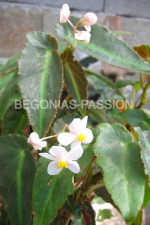 photo du begonia Magdalene Madsen, un hybride de begonia listada culture facile, mur végétal, suspensions