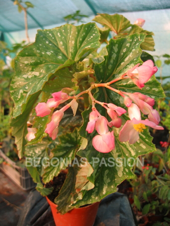 photo du begonia Orpha C. Fox, un begonia bambousiforme de type Superba