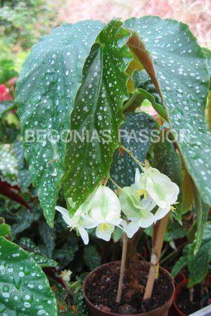 photo du begonia Pluie d'Argent un hybride obtenu par notre pépinière