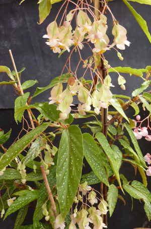 image du begonia salicifolia
