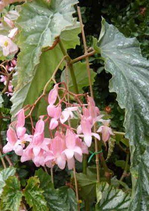 photo du begonia silver mist, un hybride bambousiforme