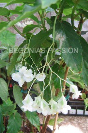 photo du begonia undulata une espèce botanique de culture facile, pour l'intérieur, les suspensions ou un mur végétal.