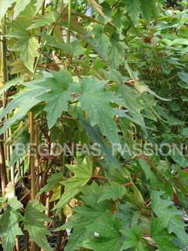 begonia 'Astrida' bamboussiforme