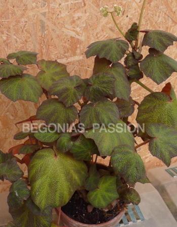 begonia 'Boomer', feuillage très décoratif