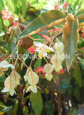 Photo du begonia elithe, begonia arbustif à floraison crême.