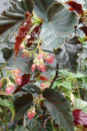 photo du begonia Audrey Brenda, à feuillage très sombre, et belle floraison en grappe rose foncé à rouge.