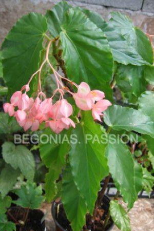 Photo du begonia 'Charles Chevalier', un begonia hybride belge, à belle floraison rose.