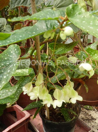 Photo du begonia coccinea speciosa, espèce originaire du Brésil; begonia bambousiforme à floraison blanche.