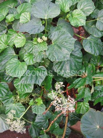 Photo du begonia convolvulacea espèce botanique origine Brésil