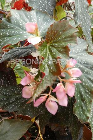 photo du begonia Dream Lover, un bel hybride très décoratif à feuillage très sombre et floraison rose foncé.