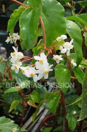 photo du begonia Eunice Gray, un hybride de begonia venosa à la floraison blanche parfumée.