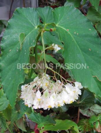 Photo du begonia Féérie, feuilles vertes et fleurs blanc pur.