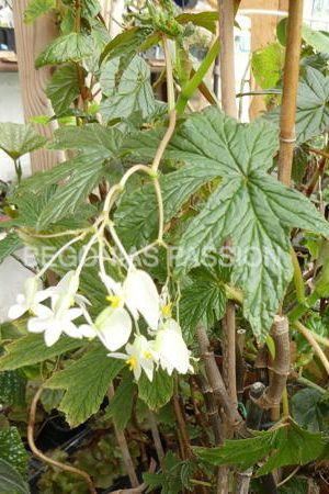 Photo du begonia gardneri, une espèce brésilienne au beau feuillage vert, découpé, et fleurs blanches.