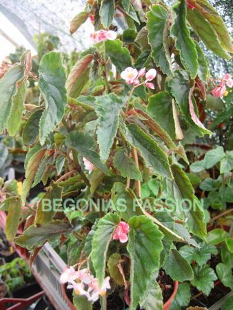 photo du begonia Ginny, un begonia hybride de begonia metallica