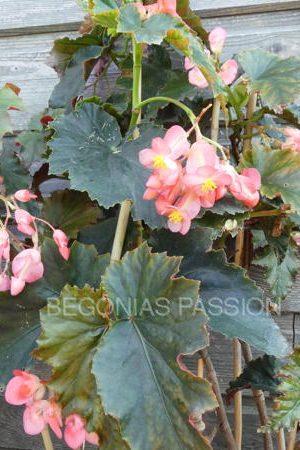 photo du begonia Jumbo Jet, à grosses grappes de fleurs roses.