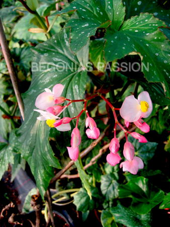 Photo du begonia Kentwood, un très grand bambousiforme
