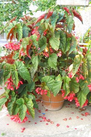Photo du Begonia 'Lucerna' appelé aussi Begonia 'Coralina de Lucerne', un grand begonia bambousiforme très florifère