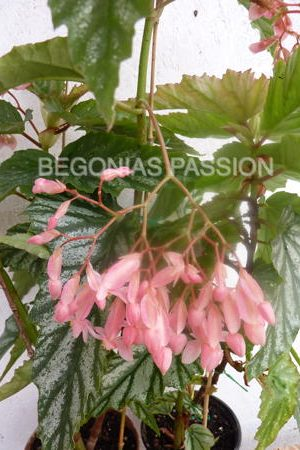 photo du begonia Nokomis, un bel hybride japonais.