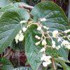 photo de begonia Palomar Pirate, grosses et longues feuilles vertes et floraison blanche