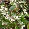photo de la floraison du begonia Palomar Pirage