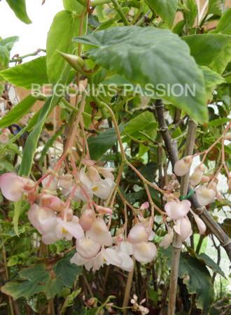 photo du begonia 'Prince de Liege' un bel hybride belge à floraison rose clair.
