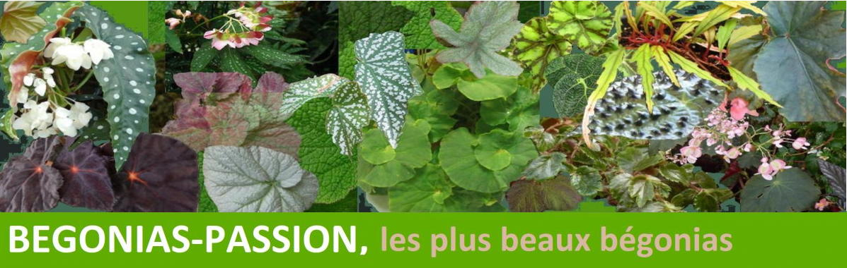 Vente en ligne de Begonias rares et de collection