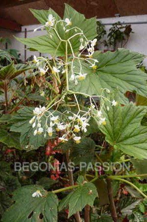 photo du begonia U442, une espèce brésilienne de culture facile
