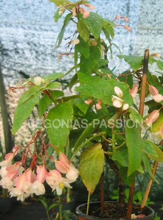 photo du begonia thimotéé, petit bambousiforme aux allures de bonzai