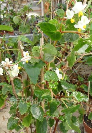 photo du begonia wrightiana, espece botanique originaire de Cuba.
