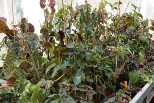 photo de pieds-mères de begonias dans la serre