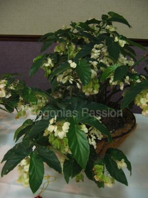 photo du begonia Green Snowballs, hybride américain à belle floraison blanc pur, abondante toute l'année.