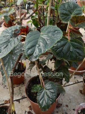 photo du begonia 'Druyi',belles feuilles larges très foncées, satinées.