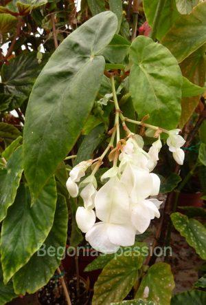 photo du begonia U025, aux feuilles vertes, allongées, en aile d'ange est à le belle floraison blanche en été et automne.