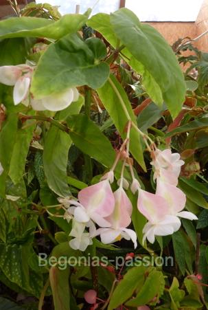 photo du begonia U025, à feuillage vert et grosses fleurs blanches qui rosissent à la lumière.