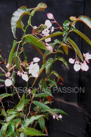 photo du begonia 'Magie Blanche', feuilles vertes allongées, et à fleurs blanches