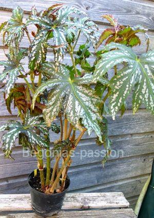 photo de begonia diadema, qui possède un magnifique feuillage découpé et panaché d'argent.