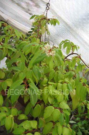 photo du begonia holtonis, une espèce botanique brésilienne, buissonnante, à floraison blanche au printemps.